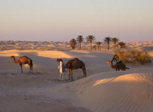 camelstunisia_njl